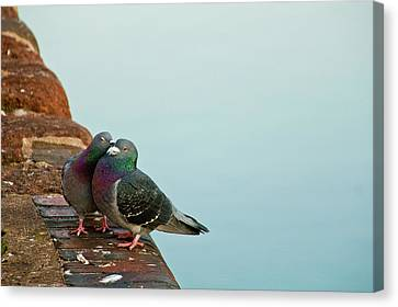Pigeons In Love Canvas Print by Image by J. Parsons