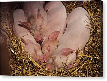 Piglets Canvas Print by David Aubrey