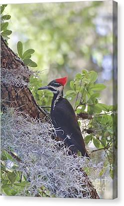 Pileated In The Moss Canvas Print by Deborah Benoit