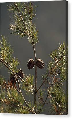 Pine Cones At The Top Of A Small Pine Canvas Print by Raymond Gehman