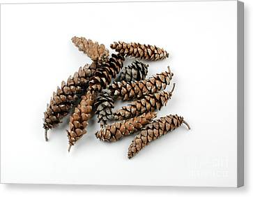 Pine Cones Canvas Print by Photo Researchers, Inc.