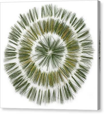 Pine Needle Flower Canvas Print by David Esslemont