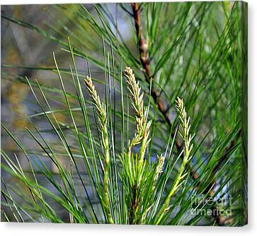 Pine Needles Canvas Print by Al Powell Photography USA