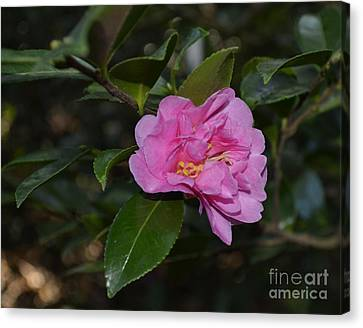 Pink Camellia Flower Canvas Print by Eva Thomas