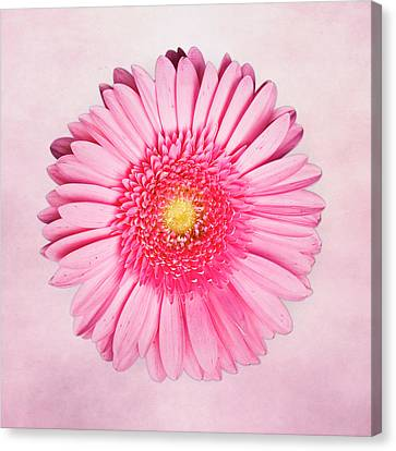 Pink Delight Canvas Print by Tamyra Ayles