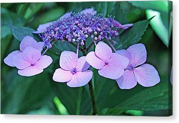 Pink Lacecap Hydrangea Canvas Print by Becky Lodes