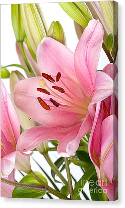 Pink Lilies 05 Canvas Print by Nailia Schwarz