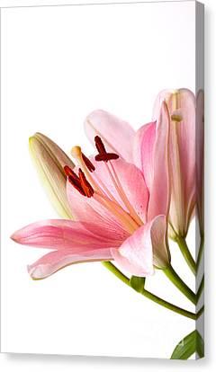 Pink Lilies 06 Canvas Print by Nailia Schwarz