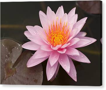 Pink Lotus On The River  Canvas Print by Anek Suwannaphoom