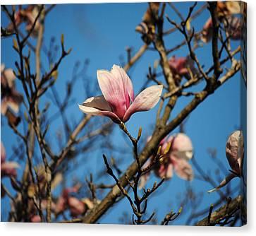 Pink Magnolia Flower Canvas Print by Jai Johnson