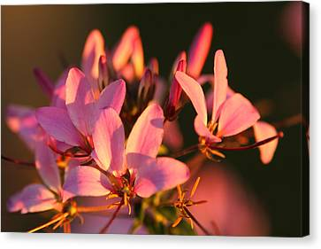 Pink Morning Canvas Print by Jose Rodriguez