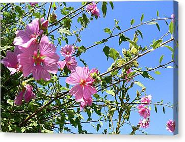 Pink Musk Mallow Canvas Print by Pamela Patch