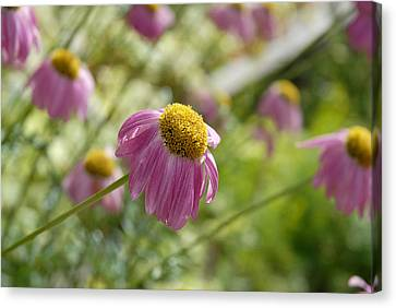 Pink Persuasion Canvas Print by Robert Meyers-Lussier