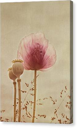 Pink Poppy Canvas Print by Kay Maguire