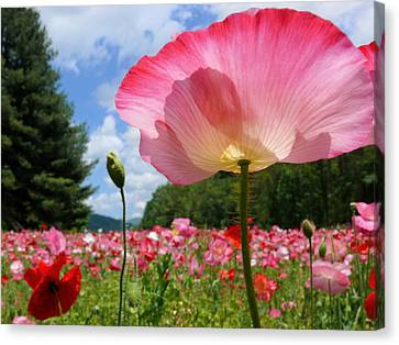Pink Poppy Petals Shine Above A Field Canvas Print by Amy White & Al Petteway