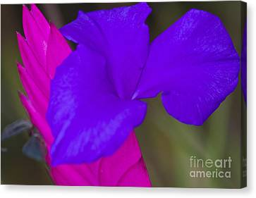 Pink Quill Canvas Print by Heiko Koehrer-Wagner