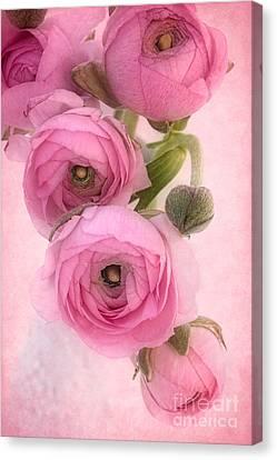 Pink Ranunculus Canvas Print by Ann Garrett