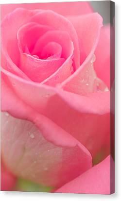 Pink Rose Canvas Print by Atiketta Sangasaeng