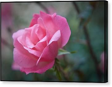 Pink Rose Canvas Print by Kelly Rader