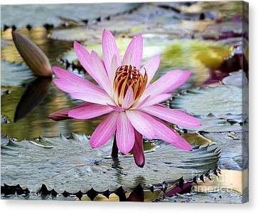 Pink Water Lily In The Morning Canvas Print by Sabrina L Ryan