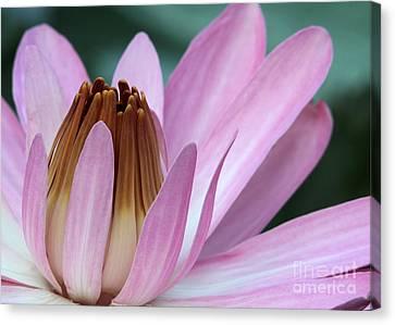 Pink Water Lily Macro Canvas Print by Sabrina L Ryan