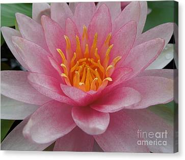 Pink Water Lily Canvas Print by Renee Trenholm