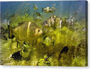 Piranhas Canvas Print by Peter Scoones