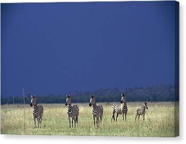 Plains Zebra Equus Burchelli In Chobe Canvas Print by Beverly Joubert