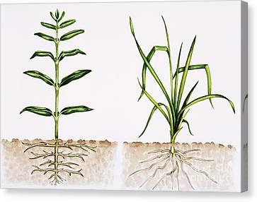 Plant Comparison Canvas Print by Lizzie Harper