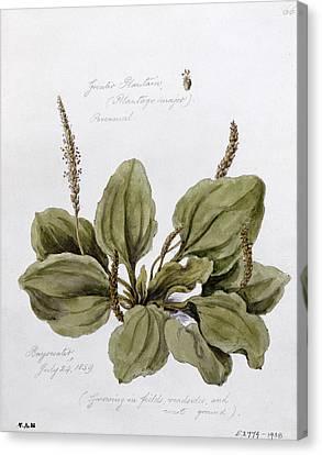 Plantain Canvas Print by WJ Linton
