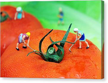 Planting On Tomato Field Canvas Print by Paul Ge