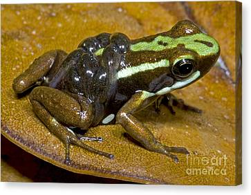 Poison Frog With Tadpoles Canvas Print by Dante Fenolio