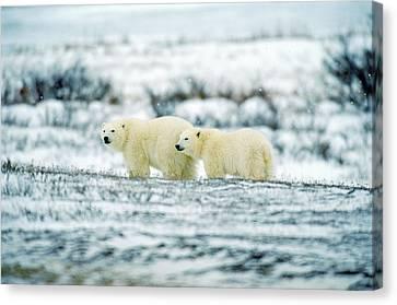 Polar Bears, Churchill, Manitoba Canvas Print by Mike Grandmailson