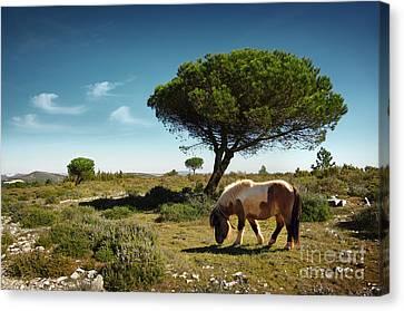Pony Pasturing Canvas Print by Carlos Caetano