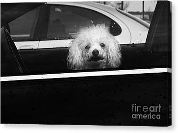 Poodle In A Car Canvas Print by Susan Isakson