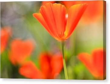 Poppies In The Wind Canvas Print by Heidi Smith