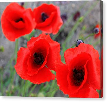 Poppies Of Stone Canvas Print by JC Photography and Art