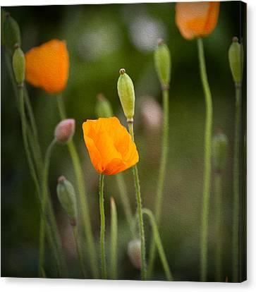 Poppy Flowers Canvas Print by Ian Barber