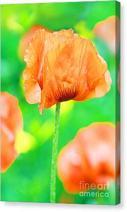 Poppy Flowers In May Canvas Print by Anita Antonia Nowack