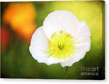 Poppy Of Peace Canvas Print by Darren Fisher
