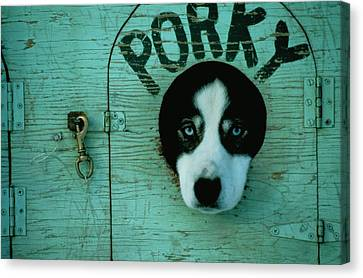 Porky Is One Of Jan Masseks Race Dogs Canvas Print by Chris Johns