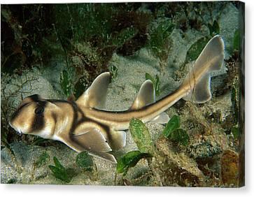 Port Jackson Shark Heterodontus Canvas Print by Mark Spencer
