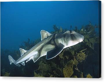 Port Jackson Shark Canvas Print by Mike Parry