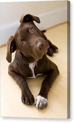 Portrait Of A Pet Mutt-chocolate Canvas Print by Karine Aigner
