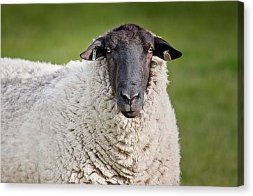Portrait Of A Sheep Canvas Print by Greg Nyquist