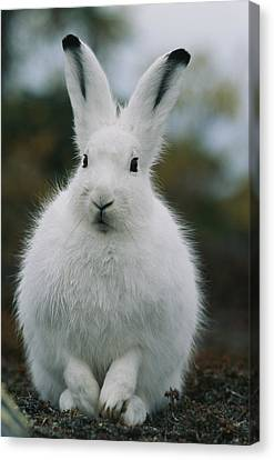 Portrait Of An Arctic Hare Canvas Print by Norbert Rosing