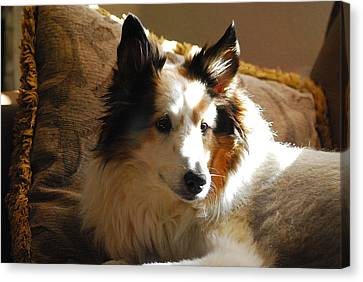 Portrait Of Drake The Sheltie Canvas Print by Roy Williams