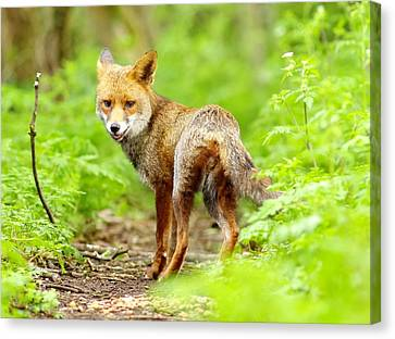 Portrait Of Fox Canvas Print by Gary Chalker