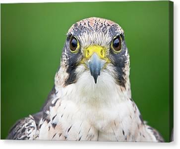 Portrait Of Peregrine Falcon Canvas Print by Michal Baran