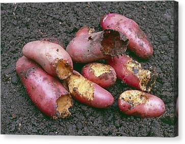 Potatoes Eaten By Pests Canvas Print by Maxine Adcock